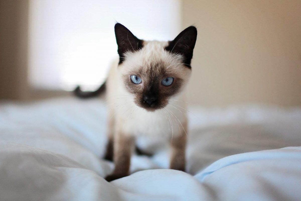 Тест: разбираетесь ли вы в породах кошек?